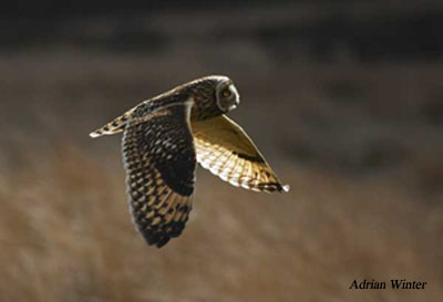 Short-eared Owl, Asio flammeus, Forest of Bowland, Lancashire.